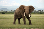 learn Danish with pictures: elephant