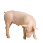 learn Danish with pictures: pig