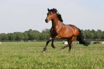 learn Danish with pictures: horse